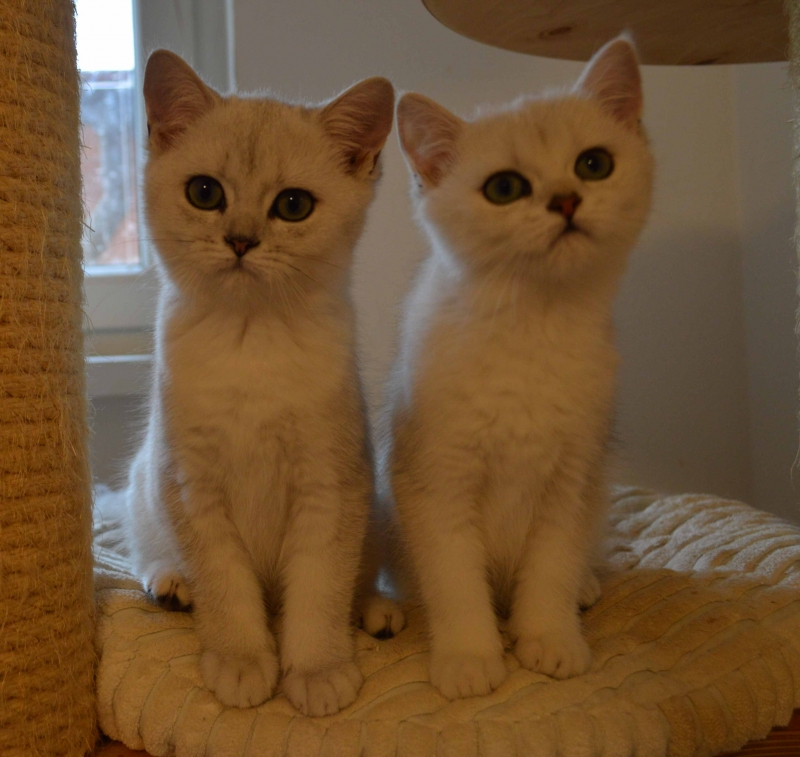 Mazlivé britské mačiatka s PP hľadajú nový domov - Inzerce.cz 5f90c26ec62